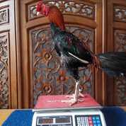 Jago Aduan JAMKID JAGO FARM JJF018 (30175320) di Kota Samarinda
