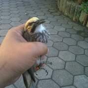 Burung Cucak Rowo Trotol Super Jinak (30206428) di Kab. Lampung Tengah