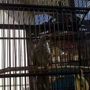 Cucak Rowo Gacor Volume Besar (30206451) di Kab. Lampung Utara