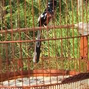 Burung Murai Batu Medan Super Blorok Ekor Putih (30213112) di Kab. Gianyar