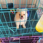 Mini Pom Betina Cantik (30241251) di Kota Surabaya
