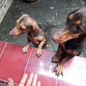 Sepasang Anjing Tekel/Duchshund (30296815) di Kota Tegal