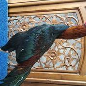 Ayam Petarung JAMKID JAGO FARM JJF026 (30346974) di Kota Manado