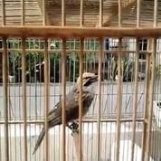 Jatan Gacor Cucak Rowo (30367668) di Kota Jakarta Timur