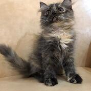 Kucing Anggora Kitten (30381340) di Kab. Deli Serdang
