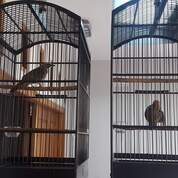 Sepasang Siap Ternak Cucak Rowo Ropel (30438303) di Kota Jakarta Utara