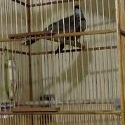 Sepasang Trotolan Cucak Rawa Sumatra (30491217) di Kab. Bengkayang