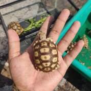 Kura Kura Sulcata Baby (30495195) di Kab. Mojokerto