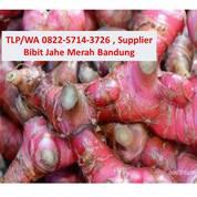 TLP/WA 0822-5714-3726 , Supplier Bibit Jahe Merah Murung (30694655) di Kab. Kutai Barat