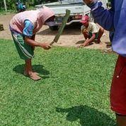 Rumput Gajah Mini Kota Pekalongan,Rumput Jepang Pekalongan (30757055) di Kota Pekalongan