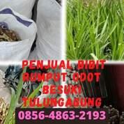 Suket Pakan Kambing Besuki Tulungagung (30826426) di Kota Blitar