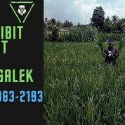 Suket Pakan Kambing Panggul Trenggalek (30827269) di Kota Blitar