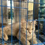 Kucing Persia Abu-Abu Lucu (30843618) di Kota Jakarta Barat