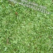 Rumput Gajah Mini Brebes,Rumput Siap Tanam Di Rumah Anda (30848655) di Kab. Brebes