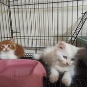 Anak Kucing By Albells Cat Surabaya (30880147) di Kota Surabaya