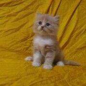 Kucing Persia Longhair Jantan Kitten Usia 2 Bulan (30880162) di Kota Bandung