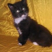 Kucing Persia Longhair Kitten Betina Usia 2 Bulan (30880213) di Kota Bandung