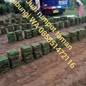 Rumput Jepang Brebes,Rumput Berkwalitas Dari Petani Malang (30953638) di Kab. Brebes