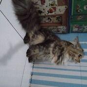 Kucing Betina Ras Persia Mix Himalaya (30954897) di Kota Tangerang Selatan