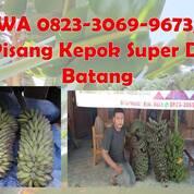 WA 0823-3069-9673, Pisang Kepok Super Di Batang (30969922) di Kab. Grobogan