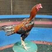 Ayam Petarung RJ Farm Indonesia (31001654) di Kota Gorontalo