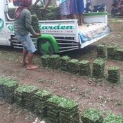 Rumput Gajah Mini Varigata Kota Pekalongan,Rumput Hidup Siap Kirim Ke Tujuan Anda (31121263) di Kota Pekalongan
