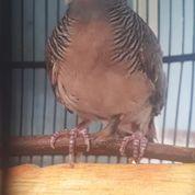 Burung Perkutut Katuranggan Kusuma Wicitra (31166542) di Kota Jakarta Timur