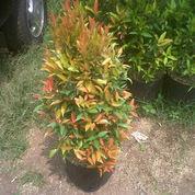 Jual Bunga pucuk merah (3366231) di Cepu