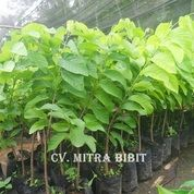 Bibit Srikaya Jumbo | Harga Bibit Srikaya Jumbo | Bibit Srikaya Jumbo Unggul (4083381) di Kab. Purworejo