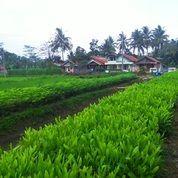 Jual Bibit Pohon Akasia Mangium / Bibit Kayu Akasia Daun Lebar / Biji Bibit Benih (4193261) di Kab. Purworejo