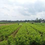 Bibit Jeruk Terigas Berlabel dan Bersertifikat Lokasi Pembibitan Purworejo | Bibit Jeruk Trigas Untuk Lelang (4649617) di Kab. Purworejo