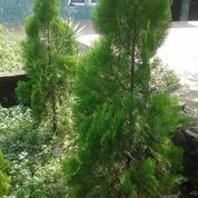 tukang pohon cemara lilin | pohon cemara kipas | pohon bibit cemara (4882747) di Kota Tangerang