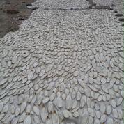 Asinan Tulang Sotong Kalsium Dan Utk Gacorkan Burung (6986463) di Kota Medan