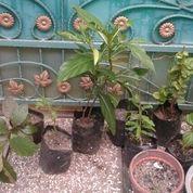 Menjual berbagai macem tanaman obat herbal (7309635) di Kota Bekasi