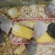Hamster Anggora Syrian Gak Gigit (7703395) di Kota Medan