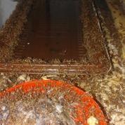 Ternak Semut Merah Penghasil Kroto (9498515) di Kab. Kuningan