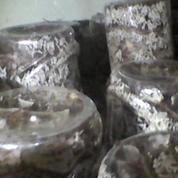 Berternak Semut Rang Rang (9498923) di Kab. Kuningan