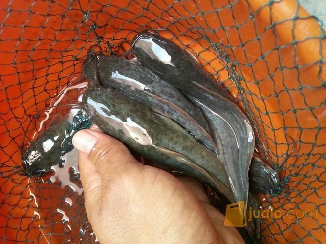 ikan lele konsumsi   Kab. Pasuruan   Jualo