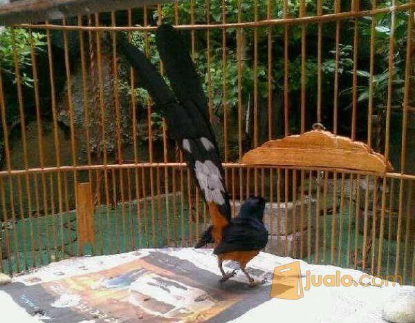 Burung Murai Batu Medan Super Ekor Panjang 27 30 Cm Gacor Pontianak Jualo