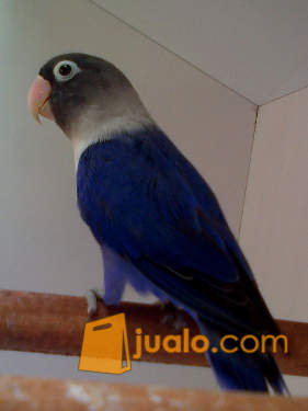 Burung Lovebird Violet Singgle Dark Factor Sdf Surabaya Jualo