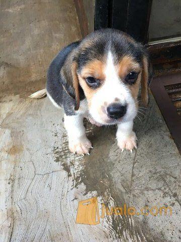 Anjing Beagle Puppy Pure Palu Jualo
