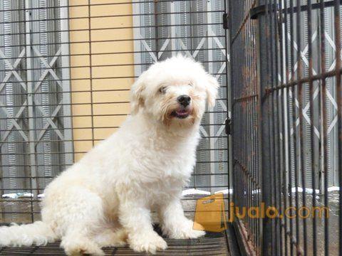 Anjing Maltese Sehat Pangkal Pinang Jualo