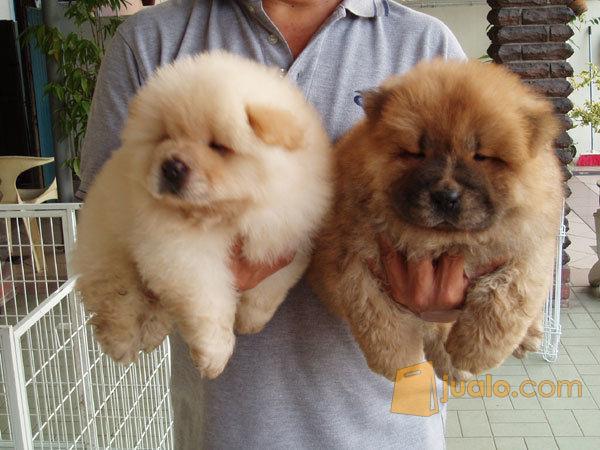 Anjing Chow Chow Lucu Banget Manado Jualo