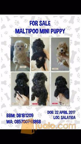 Maltipoo Mini Puppy Maltese Mix Toy Poodle Mix Salatiga Jualo