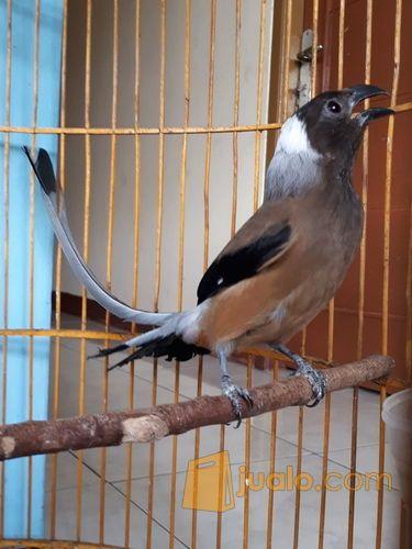 Burung Pentet Raja Jakarta Timur Jualo