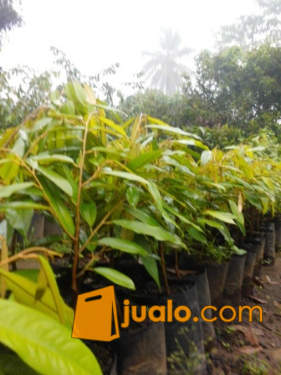 bibit durian matahari unggul dan bersertifikat (1132239) di Kab. Purworejo