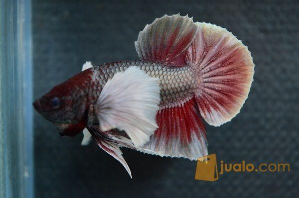 Ikan Cupang Plakat Big Ear Red Copper Berkualitas Tangerang Jualo