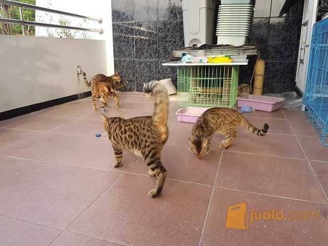Indukan Kucing Bengal Jambi Jualo