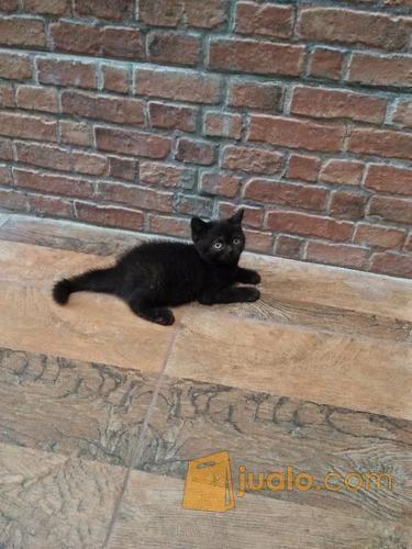 Kucing Anakan British Short Hair Black Solid Jakarta Selatan Jualo