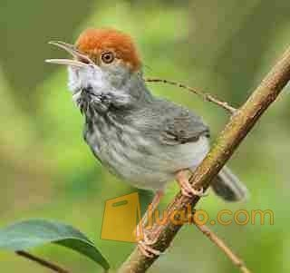 Burung Prenjak Dan Kemade Cabai Binjai Jualo